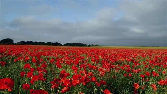 poppy flower fields - poppy plant stock videos and b-roll footage