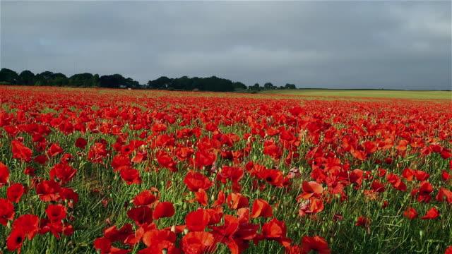 poppy flower fields - poppy stock videos & royalty-free footage
