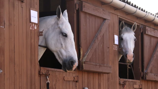 vídeos y material grabado en eventos de stock de two white horses looking out of stable doors - establo
