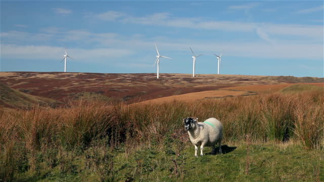 vídeos de stock, filmes e b-roll de a sheep and wind turbines on moor - lancashire