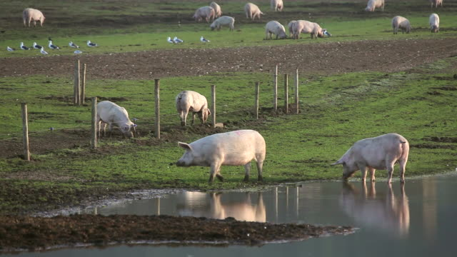 PIGS DRINKING IN FLOODED FIELD