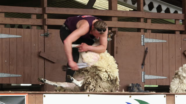vídeos de stock, filmes e b-roll de display of hand blade shearing on sheep; the great yorkshire show - tosquiando
