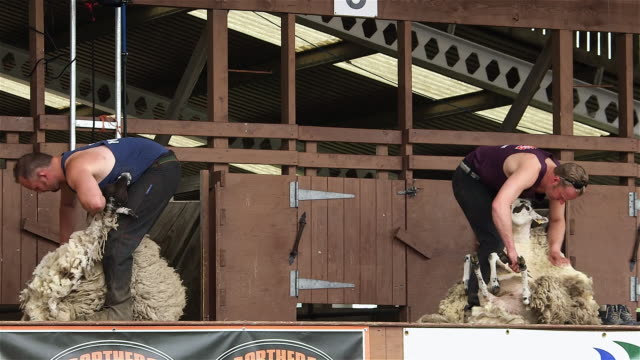 vídeos de stock, filmes e b-roll de display of hand blade shearing & machine shearing; the great yorkshire show - tosquiando