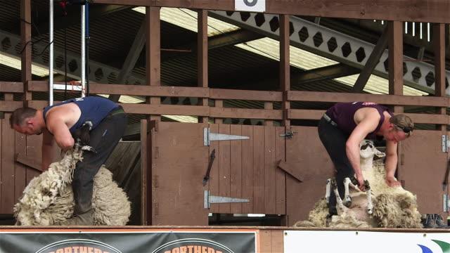 display of hand blade shearing & machine shearing; the great yorkshire show - sheep shearing stock videos & royalty-free footage