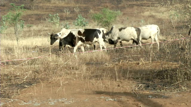 peul cattle - burkina faso - cattle stock videos & royalty-free footage