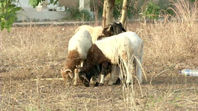 goats eating at cotton fields - ヤギ点の映像素材/bロール