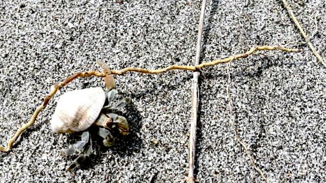 vídeos de stock, filmes e b-roll de caranguejo em um caracol na areia - gastrópode