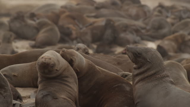 seals - colony stock-videos und b-roll-filmmaterial