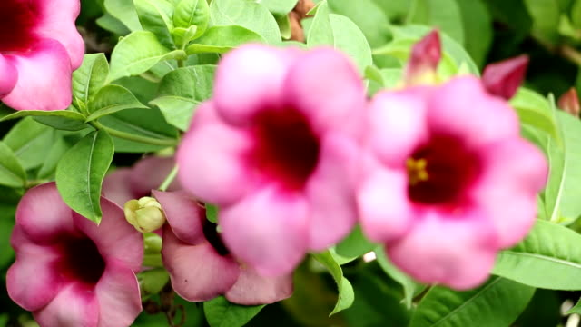 acanthaceae - acanthaceae stock videos & royalty-free footage