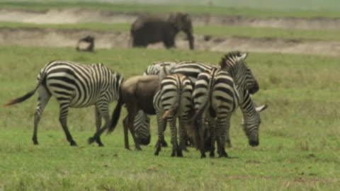 zebras - ngorongoro safari - 1 minute or greater stock videos & royalty-free footage