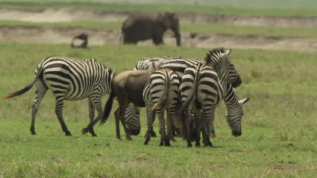 zebras - ngorongoro safari - 1 minute or greater stock videos & royalty-free footage