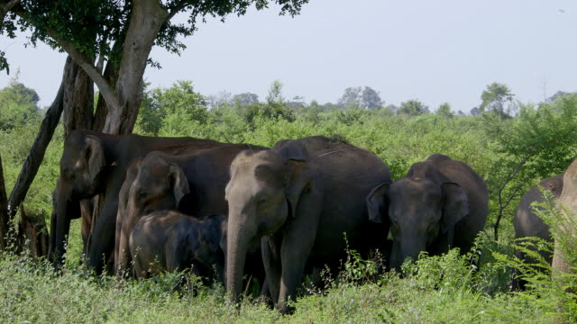 ASIAN ELEPHANTS UNDER TREE IN SHADE