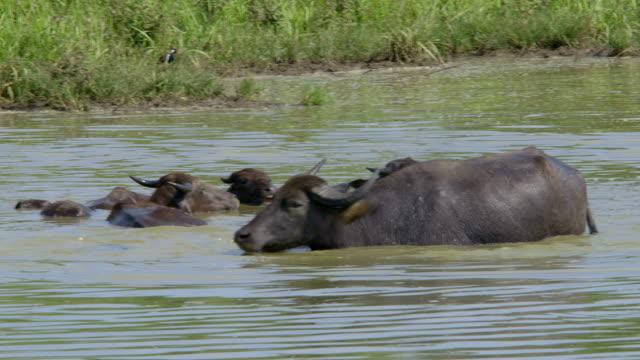 domestic water buffalo - water buffalo stock videos & royalty-free footage