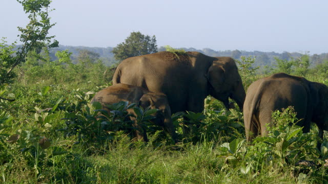 ASIAN ELEPHANTS WITH YOUNG