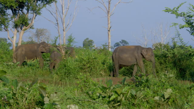 ASIAN ELEPHANTS GRAZING