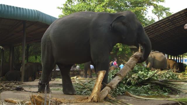 LARGE ASIAN ELEPHANT FEEDING