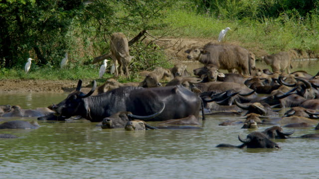 wild and domestic water buffalo chewing the cud - water buffalo stock videos & royalty-free footage