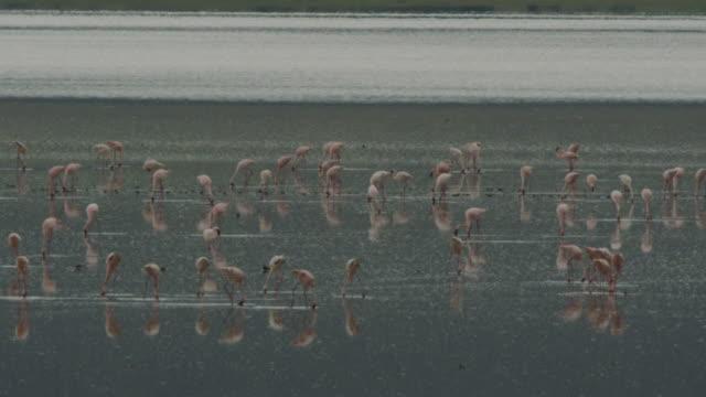 vídeos de stock, filmes e b-roll de flamingos - ngorongoro safari - 1 minuto ou mais