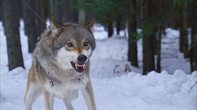 wolf hybrid in snowy forest; menacing, snarling - 歯をむく点の映像素材/bロール