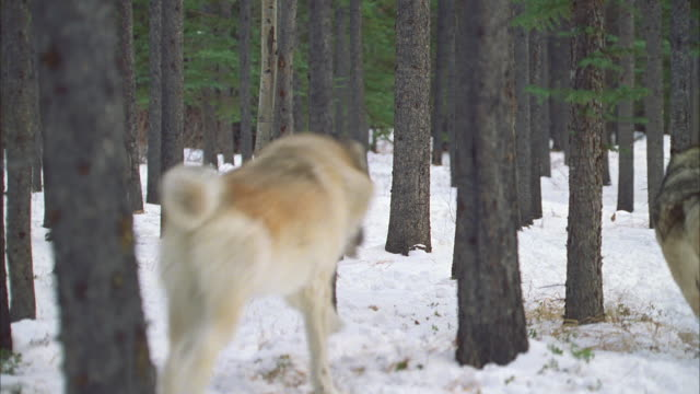 2 pack of wolf hybrids runs to & away from camera in snowy forest - winter stock videos & royalty-free footage