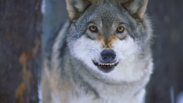 wolf hybrid in snowy forest; close view, menacing, snarls - one animal stock videos & royalty-free footage
