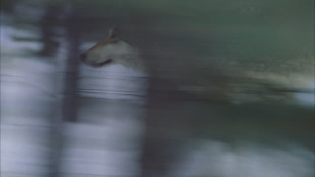 camera tracks wolf hybrid running thru snowy forest - one animal stock videos & royalty-free footage