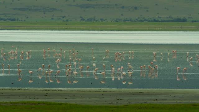 flamingos - ngorongoro safari - タンザニア点の映像素材/bロール