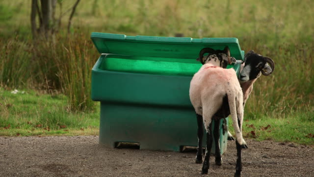 swaledale sheep and road grit bin - small group of animals stock videos & royalty-free footage