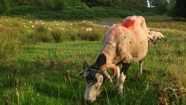 GRAZING SWALEDALE SHEEP