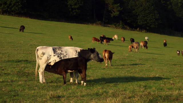 HOLSTEIN CATTLE AND FEEDING CALF