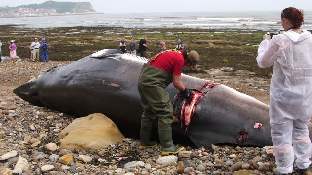 vídeos de stock e filmes b-roll de autopsy on a washed up minke whale by zoological society of london; south bay, scarborough minke whale, scarborough beach - scarborough reino unido