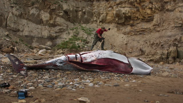 autopsy on a washed up minke whale by zoological society of london; south bay, scarborough minke whale, scarborough beach - autopsy stock videos & royalty-free footage