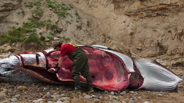 stockvideo's en b-roll-footage met autopsy on a washed up minke whale by zoological society of london south bay scarborough minke whale scarborough beach - scarborough engeland