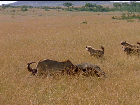 Montage of hyenas foxes and vultures trying to get a part of a lion's kill in Africa