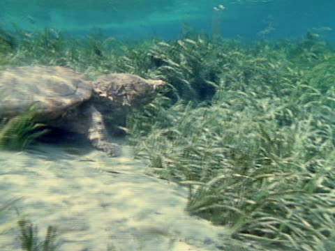 alligator snapping turtle walking on eel grass amp sandy river bottom in clear sunlight water cu head primitive fresh water turtle - alligator stock videos & royalty-free footage