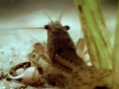 crayfish standing on small shell tu xws things floating on top of water green trees bg - flußkrebs tier stock-videos und b-roll-filmmaterial