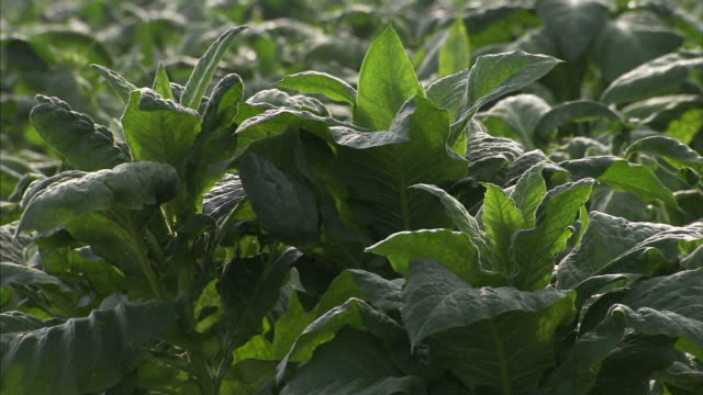 Tobacco plants w/ sunlight shining behind leaves Agriculture farm cash crop export/import leaf Slavery cigarettes cigars chewing pesticide health...
