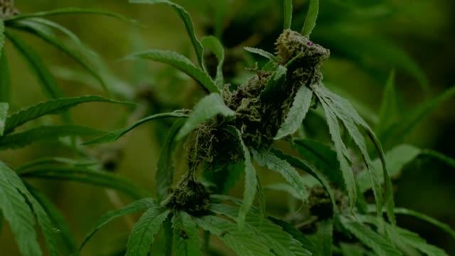 vídeos y material grabado en eventos de stock de close angle of cannabis plant. - marihuana hierba de cannabis
