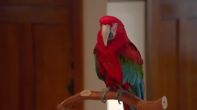 vidéos et rushes de medium angle of parrot on branch in apartment. - bouche des animaux