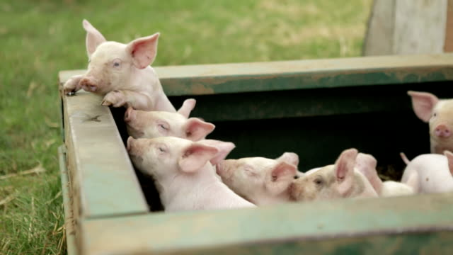 pigs - paglia video stock e b–roll