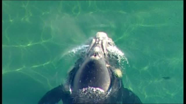 CLOSE UP AERIAL SOUTHERN RIGHT WHALE SLOWLY SWIMS IN SHALLOWS OF PORT PHILLIP BAY OFF ASPENDALE / WIDE AERIAL WHALE IN PORT PHILLIP BAY / AERIAL...