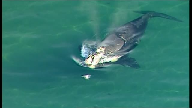 AERIAL SOUTHERN RIGHT WHALE IN SHALLOW WATER IN ONE SPOT JUST BENEATH SURFACE BLOWS SPOUT AND GENTLY MOVES TAIL / QUICK SHOT ZOOM OUT