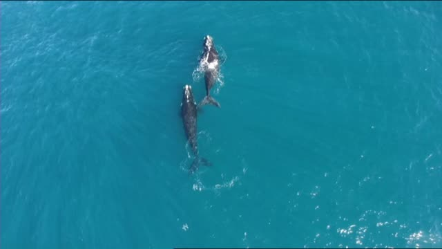 BRIGHT BLUE OCEAN AERIAL PAIR OF HUMPBACK WHALES SWIM TOGETHER OFF THE COAST OF SYDNEY ONE DUCKS UNDER THE OTHER AS SWIMS
