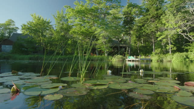 PAN LEFT TO RIGHT OF SURFACE OF LAKE OR POND. LILY PADS AND REEDS. DOCK AND CABIN OR HOUSE IN BG. TREES ALONG SHORE.