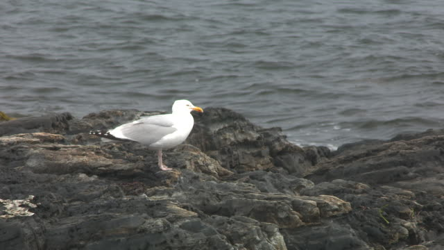 MEDIUM ANGLE OF SEAGULL SITTING ON ROCKS OR SHORE NEAR OCEAN OR LAKE.