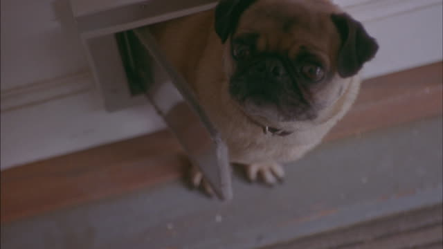 high angle down of pug dog  crawling through doggy door in house or home. see dog poke head out of doggy door entrance to stand halfway through door. dog barks continuously. could be a puppy. - bark stock videos & royalty-free footage
