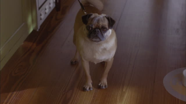 MEDIUM ANGLE OF PUG ON A LEASH. SEE DOG BECOME EXCITED BY SOMETHING OFF SCREEN. SEE DOG BARK AND JUMP. SEE SMALL WHITE FIRST AID BANDAGE BOX THROWN INTO VIEW FROM BEHIND POV AND DOG PAWS IT. ANIMAL STUNT. WOOD FLOOR. HOUSES.