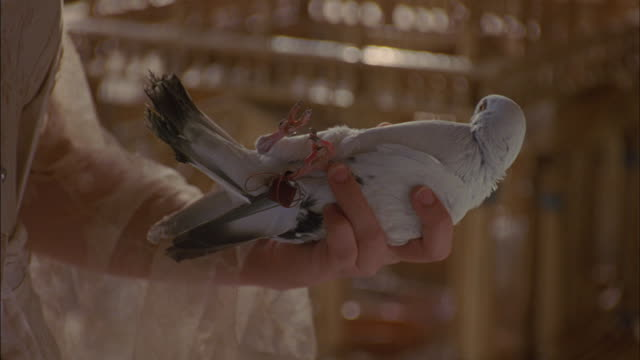 medium angle of live white pigeon or bird in human hand. female figure wears brown shirt with lacy sleeves and inserts small note, message in string attached to foot of bird. delivery. - messaggio video stock e b–roll