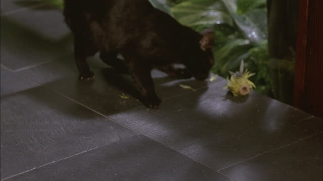 CLOSE ANGLE OF BLACK CAT ATTACKING OR BITING THE HEAD OF A YELLOW CANARY BIRD DOLL. SEE BIRD FALL OFF SIDE OF LEDGE. SEE CAT CLAW AT BIRD AND WALK AWAY FRAME RIGHT.