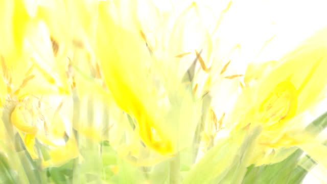 the yellow tulips (fade out) - fade out stock videos & royalty-free footage